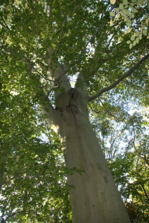 """""American Beech tree's are native to Maryland. Source:https://delawaretrees.com/bigtrees/hardwoods/american-beech/"